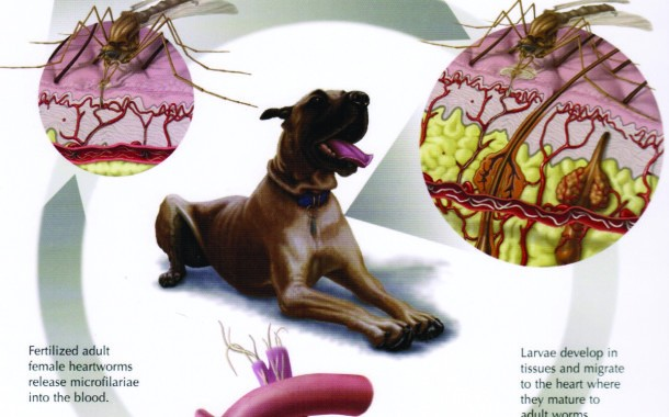 The Truth About Heartworms in Dogs and Cats    By: Dr. Scotty Gibbs